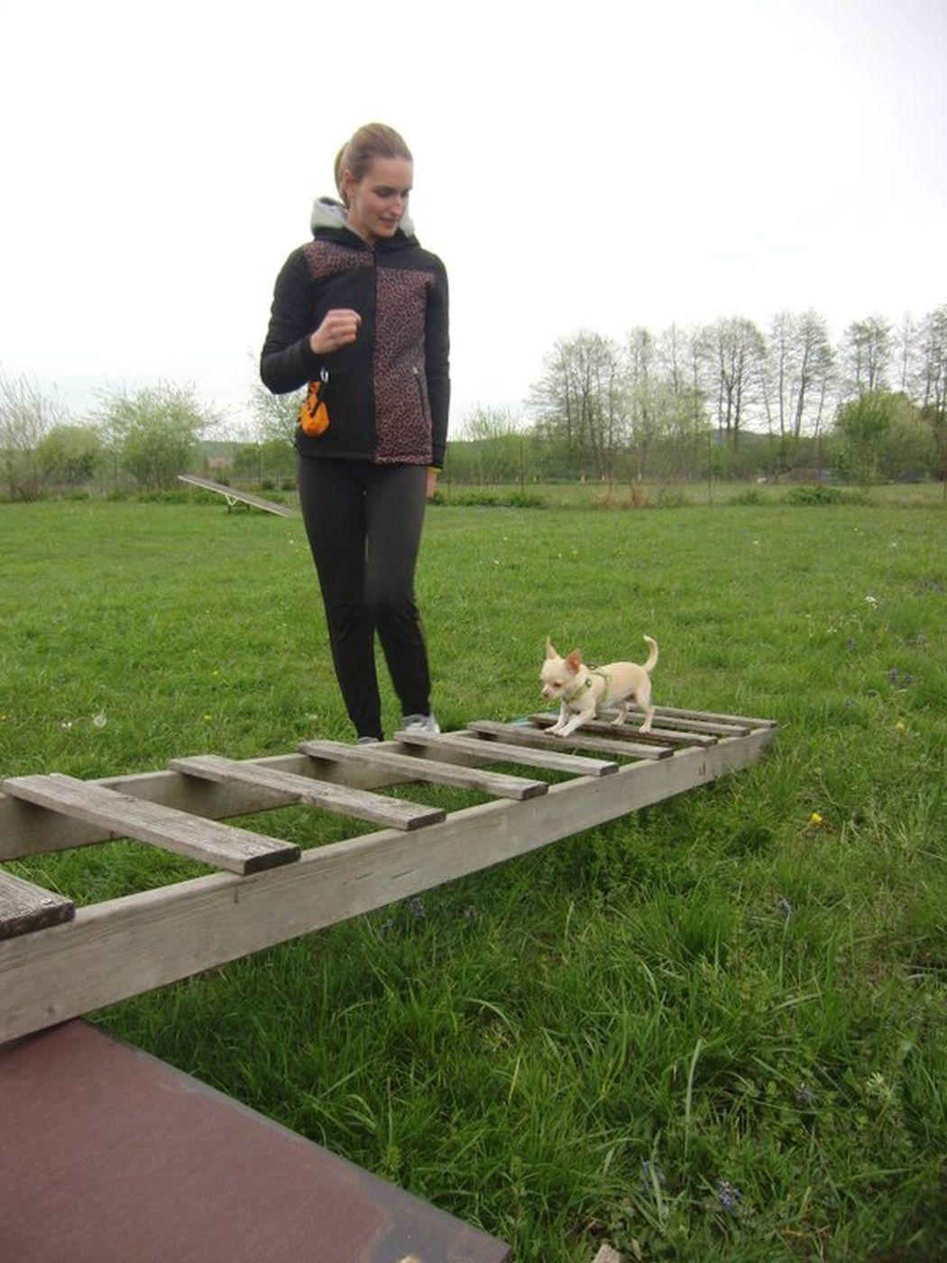 Pasja šola Švrk - hoja po lestvi